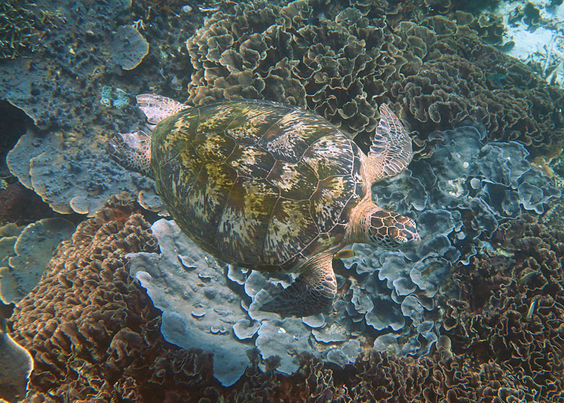 You can expect to see big creatures while snorkeling in Komodo like this large Green Sea Turtle.