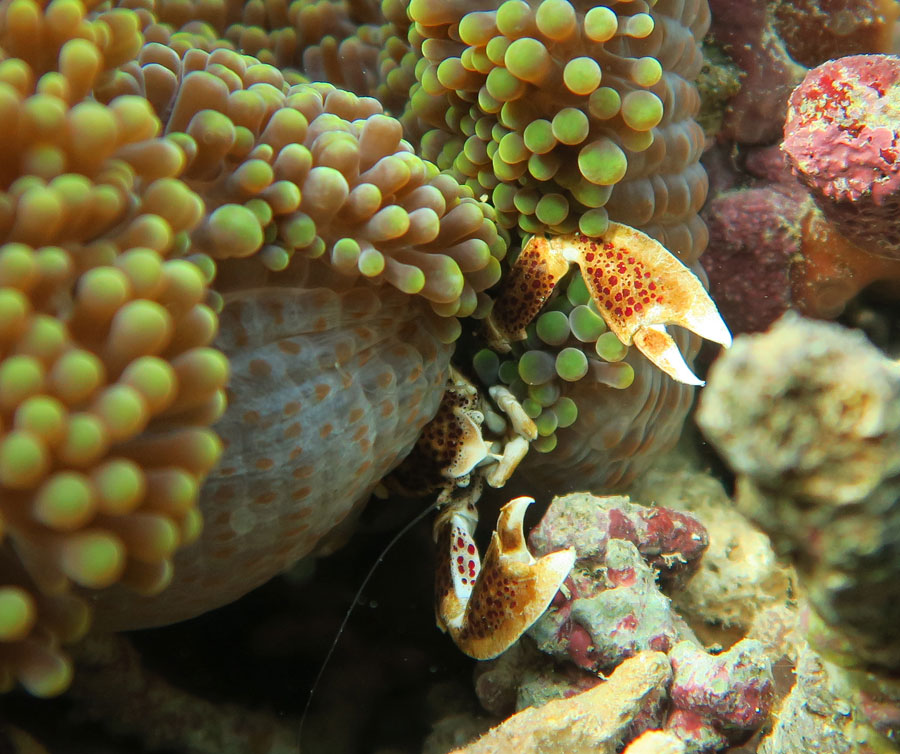 This Porcelain Anemone Crab or Spotted Porcelain Crab in Komodo lives in symbiosis with the anemone.
