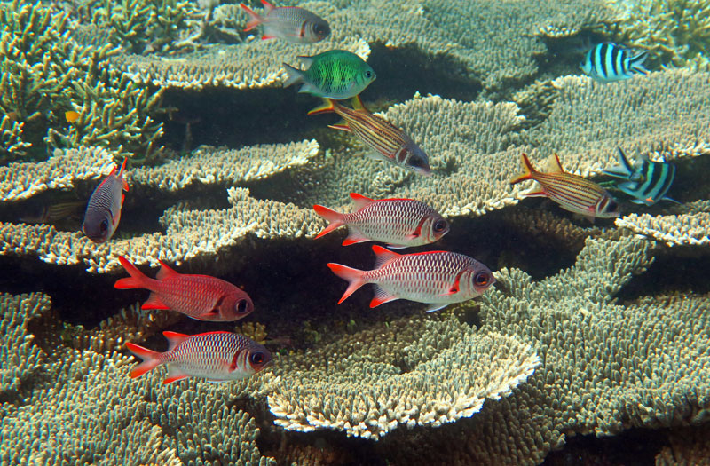 Colorful soldierfish, squirrelfish, and sergeants hovering over a wonderful table coral in Komodo.
