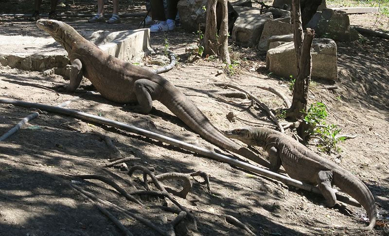 We took a short trek on Rinca Island to see the Komodo Dragons. They were a treat to see and it was also mating season!
