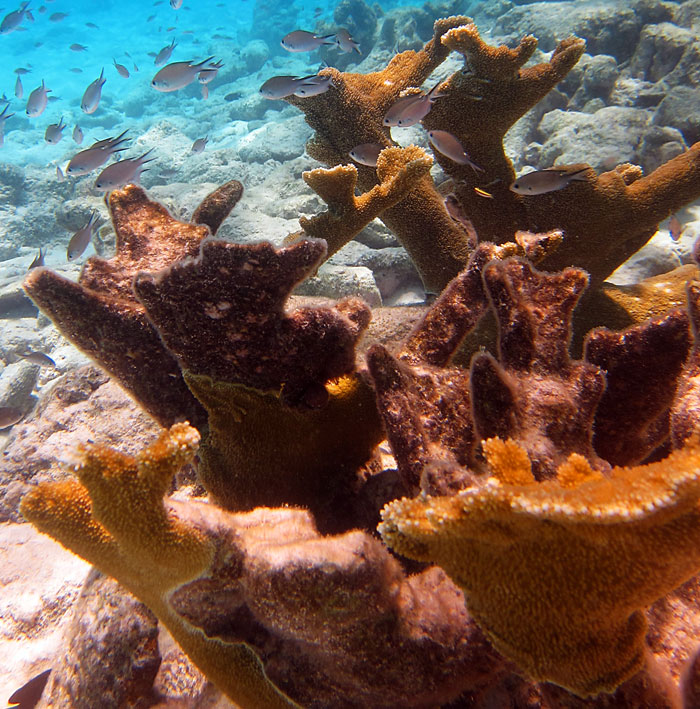 Unhealthy Elkhorn Coral. You can see the line of where some areas are alive and some dead.