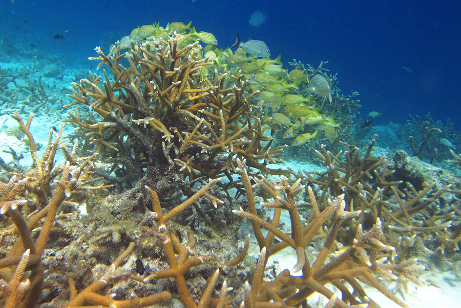 Notice the nice color and shape of healthy Staghorn Coral. It is fragile, so it can be easily damaged by snorkeler fins and storms.