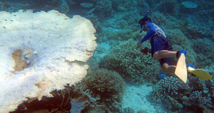 This huge table coral is bleached from warm waters and likely won't recover.