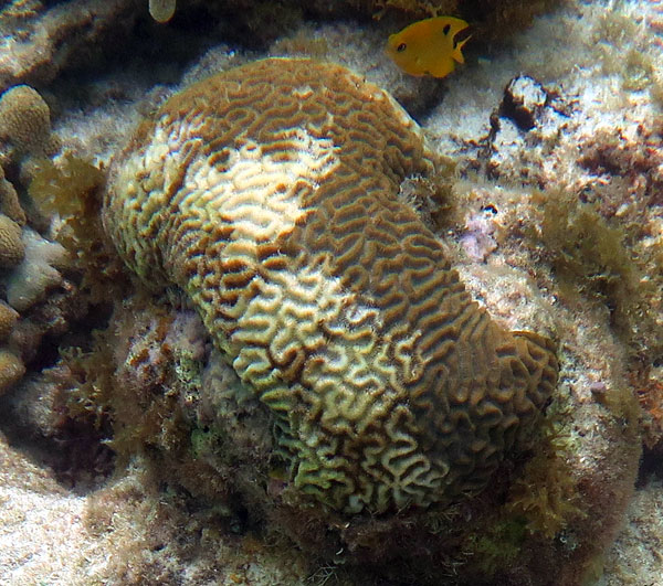 This brain coral looks like it has suffered from bleaching. It might recover but judging by the amount of algae in the area it's unlikely.
