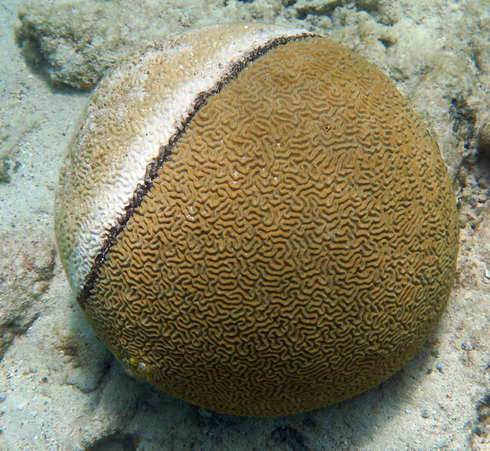 This brain coral looks partially bleached, or has disease of some kind.