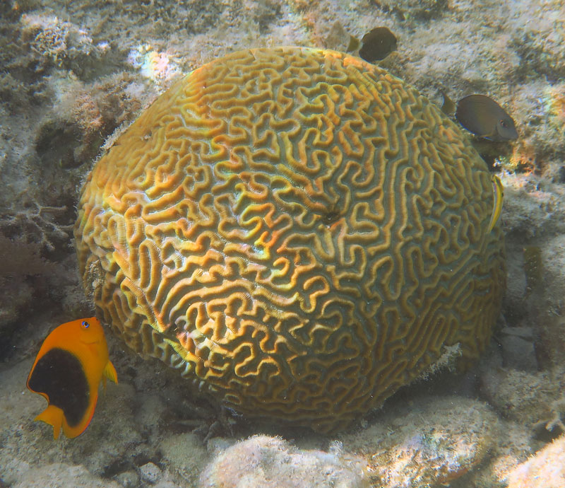 This brain coral looks pretty healthy. Although there is a bit of collected sediment on it, likely from boat traffic or a storm.