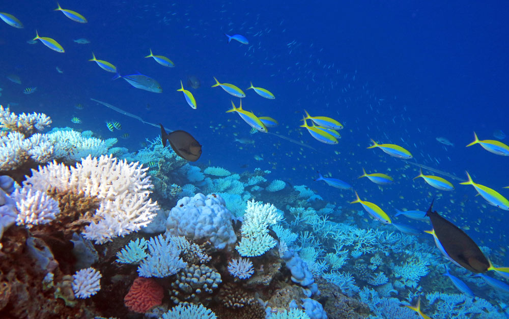 We saw many many fish snorkeling in the Maldives, but many reefs corals were bleached or bleaching due to warm water.