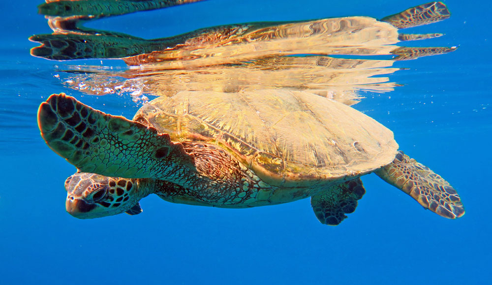 Maui snorkeling is great because of all the sea turtles.