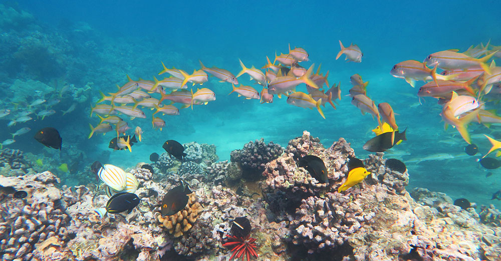 Maui snorkeling offers abundant tropical fish, turtles and corals to view, although bleaching events have killed some corals in the last few years.