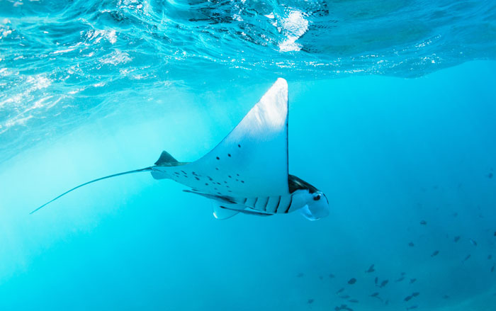 Snorkeling with Manta Rays is a possibility in Palau.