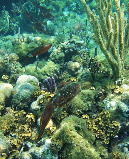 Snorkeling with Caribbean Reef Squid