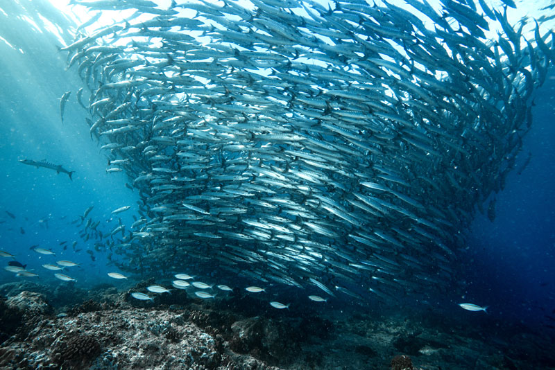 Expect to see massive schools of fish like this while snorkeling in Sulawesi.