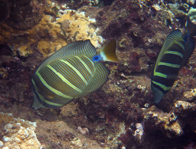 A pair of Sailfin Tang grazing on the reef at Honolua Bay.