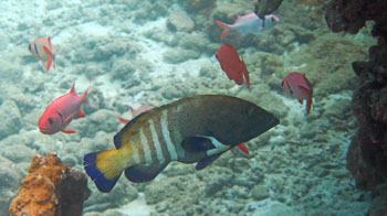 A Peacock Grouper and his soldierfish buddies at Honolua Bay.
