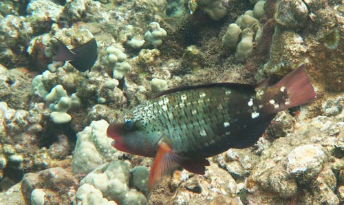 A female Bullethead Parrotfish on the reef at Kahekili.