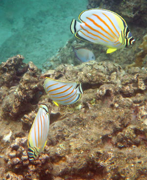 At trio of Ornate Butterflyfish.