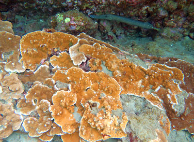 Healthy Rice Coral and a Trumpetfish.
