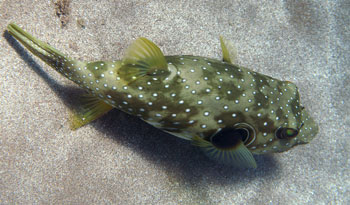 A Stripebelly Puffer we found while snorkeling Poolenalena Beach in Maui.