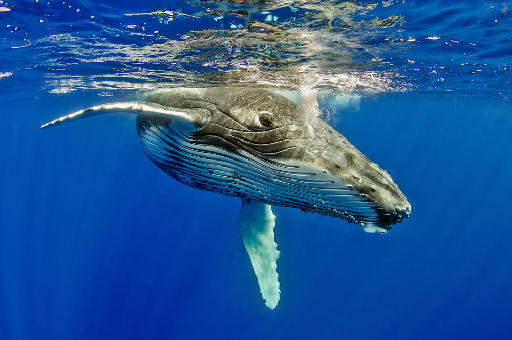 Imagine snorkeling in Tonga with these gentle giant Humpback Whales.