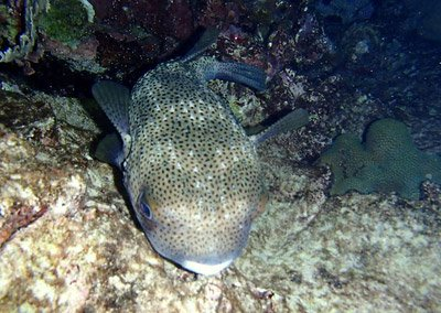 Sleeping Porcupine Fish. They are really cute with their puppy dog eyes.