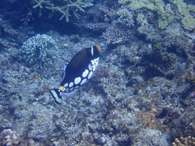 Fiji Clown Triggerfish