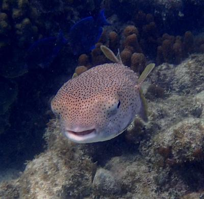 Porcupine fish at Connally's Cove
