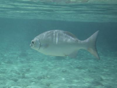 A chub we spotted on our Caribbean snorkeling trip.