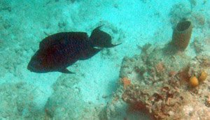 Huge Midnight Parrotfish down deep at the Blue Hole