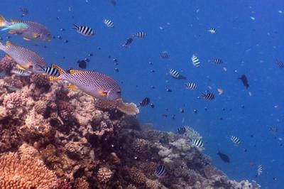 Sweetlips and damselfish over the Great Barrier Reef