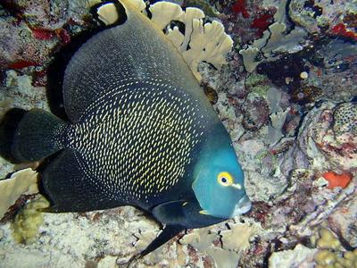 Sleeping French Angelfish