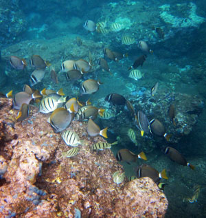 Snorkel with lots of tropical fish on Oahu.