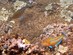 Pair of Christmas Wrasses and Coral at Three Tables