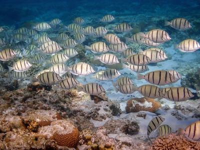 School of Convict Tang I saw snorkeling at Lady Elliot Island