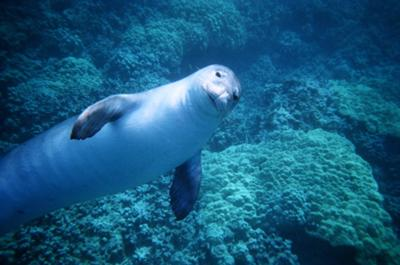 Monty the Monk Seal