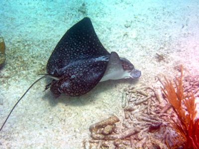 Spotted Eagle Ray at Tori's Reef on Bonaire
