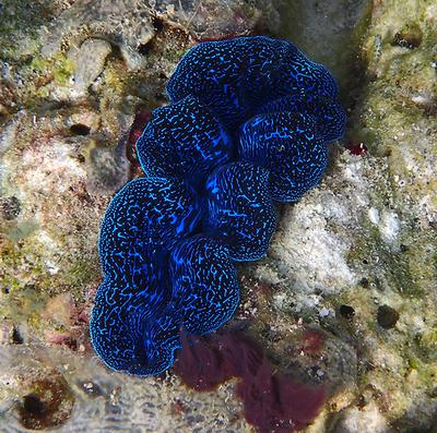 Giant Clam, with TG4
