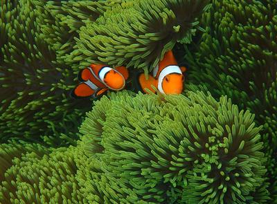 Clown Anemone Fish, with TG4