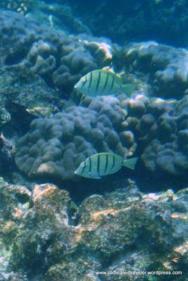 Snorkeling with Convict Tang at Kahalu'u