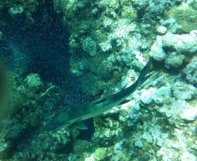 Silversides and Tarpon looking into Devil's Grotto at Eden Rock