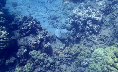 Turtle in Hanauma Bay