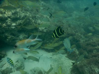 Fish seen by snorkeling from Cove Beach