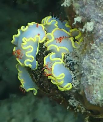 Sea Goddess Nudibranch