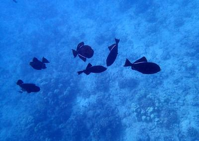 Lots of Triggerfish