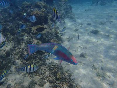 Snorkeling In Fiji With Parrotfish